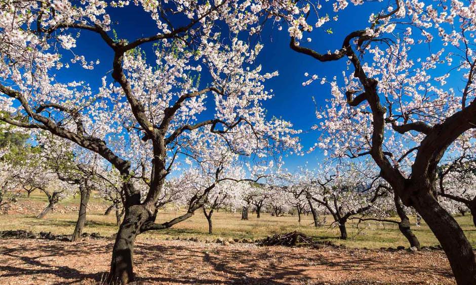 ES Pabisa Hotels Mallorca España Primavera arbol de almendras